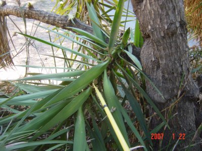 Weed Twister vs Yucca - Click for larger image!